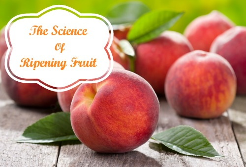 The Science of Ripening Fruit